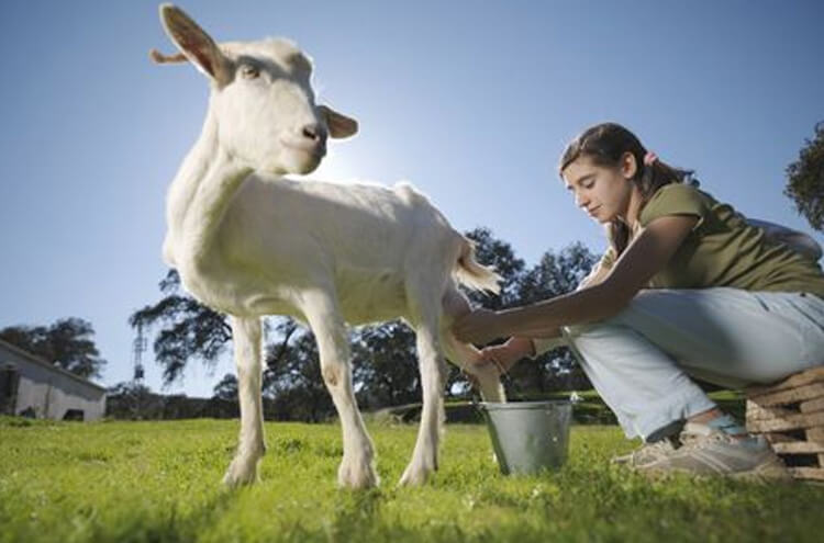 Why is goat's milk more useful than cow's milk?