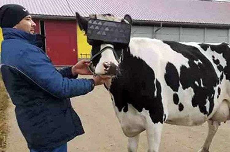 VR headsets were worn to keep the cow happy
