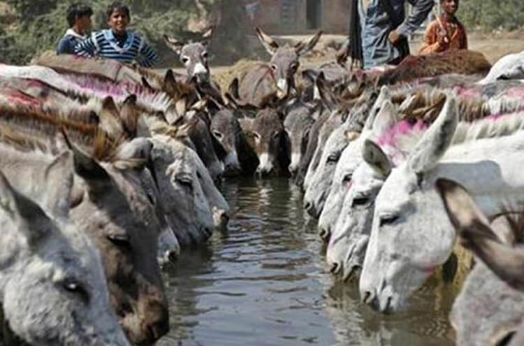 The number of donkeys began to increase across the country
